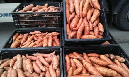 Eerste Thoolse zoete aardappelen in de verkoop